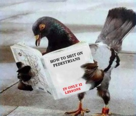 Pombos são inteligentes ou nós é que somos burros muitas vezes?